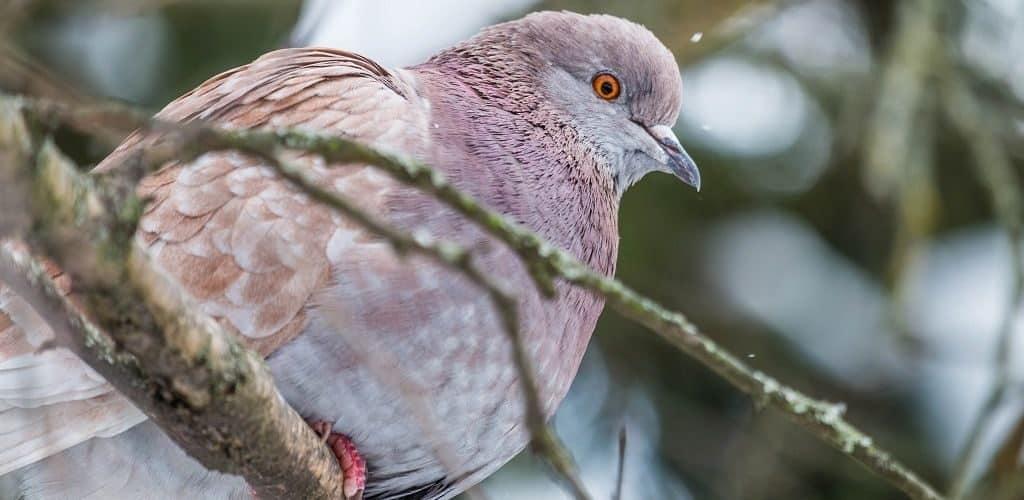 Розовый голубь: описание