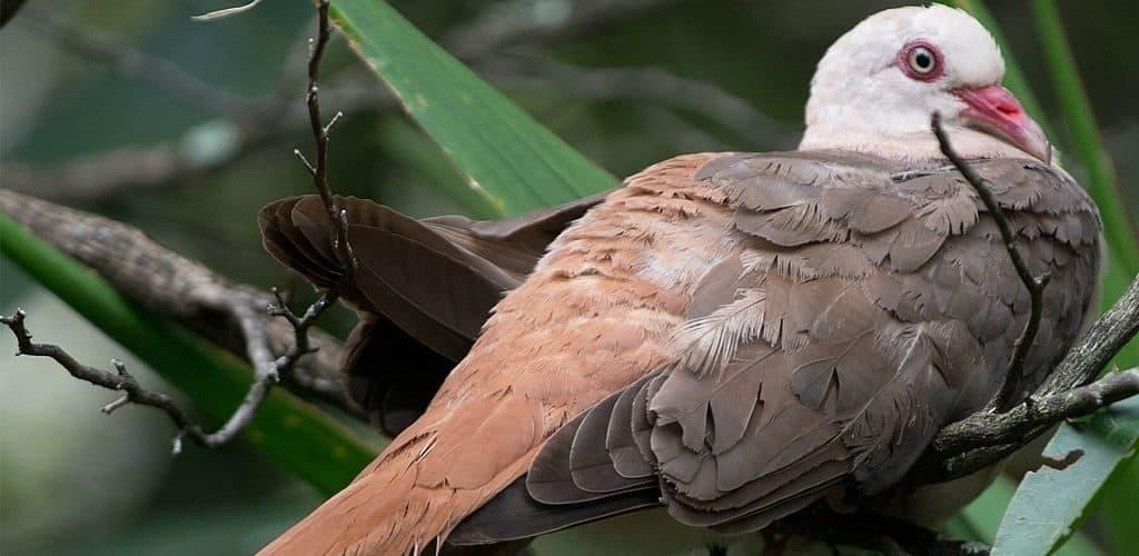Факты о розовых голубях