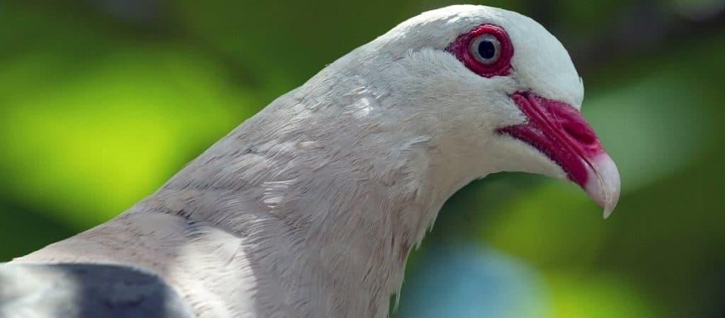 Глаза розового голубя