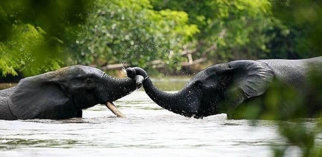Река Конго, слоны в реке