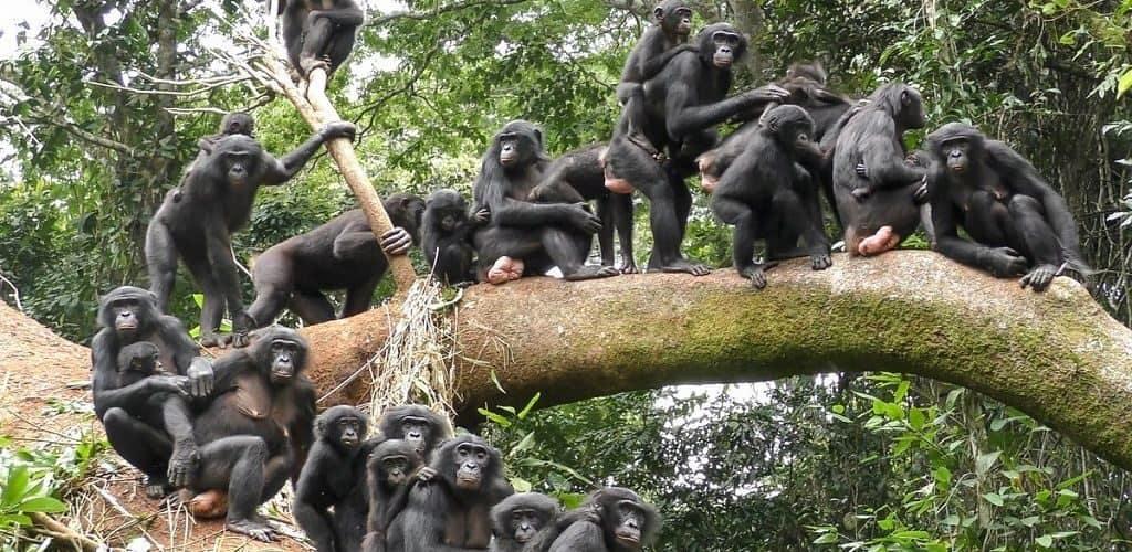 Заповедник «Рай для бонобо» в Конго