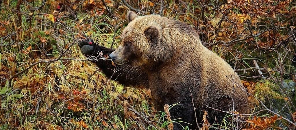 Чем питается медведь
