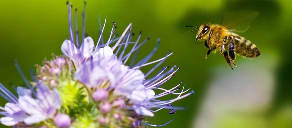 Летящая пчела