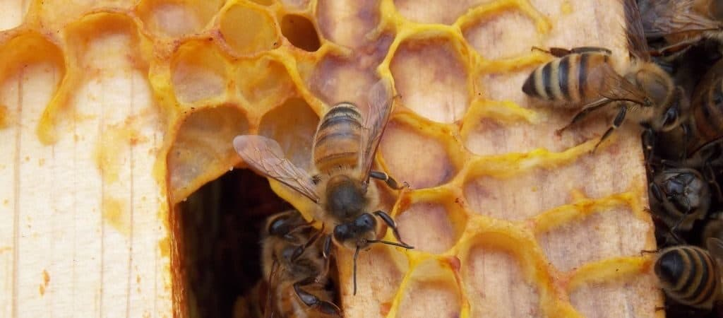 Пчелы-строители