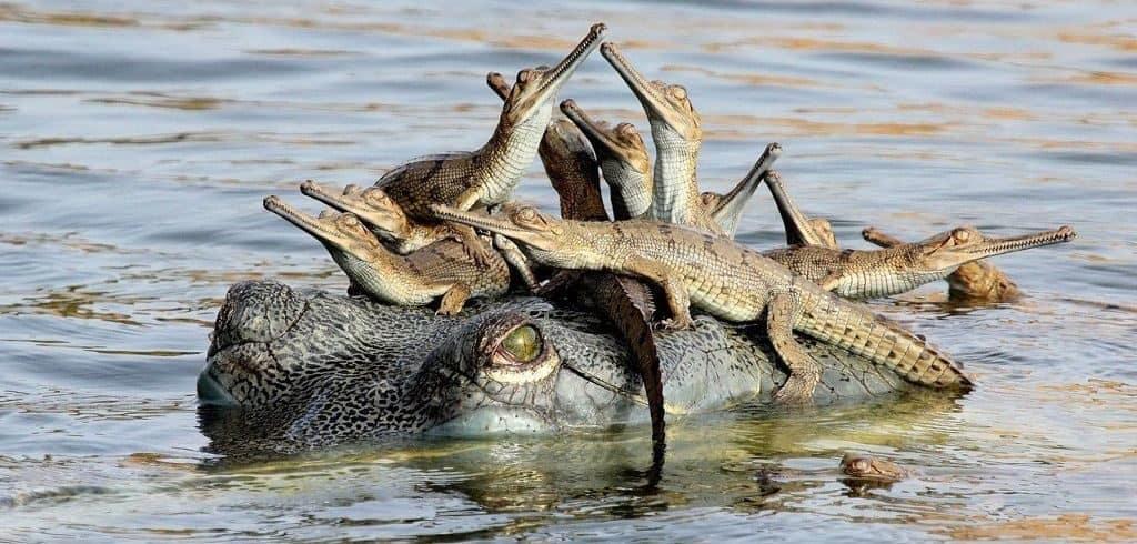 Самка крокодила с детенышами
