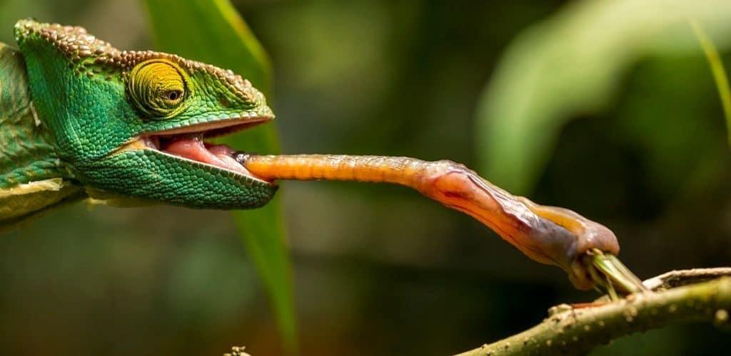 Язык хамелеона