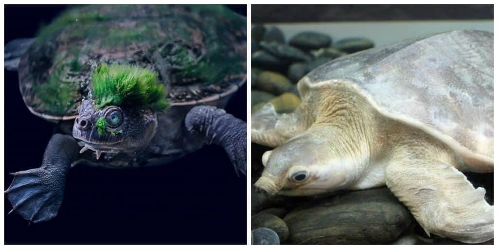 Свиноголовая черепаха, черепаха реки Мэри