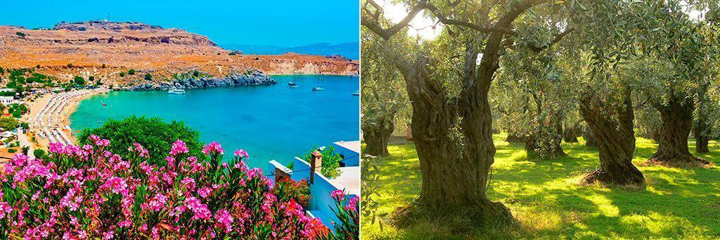Цветущие олеандры и оливковые деревья