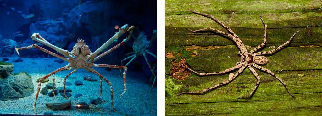 Японский краб и паук-краб