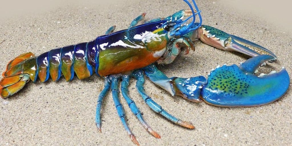 Радужный омар