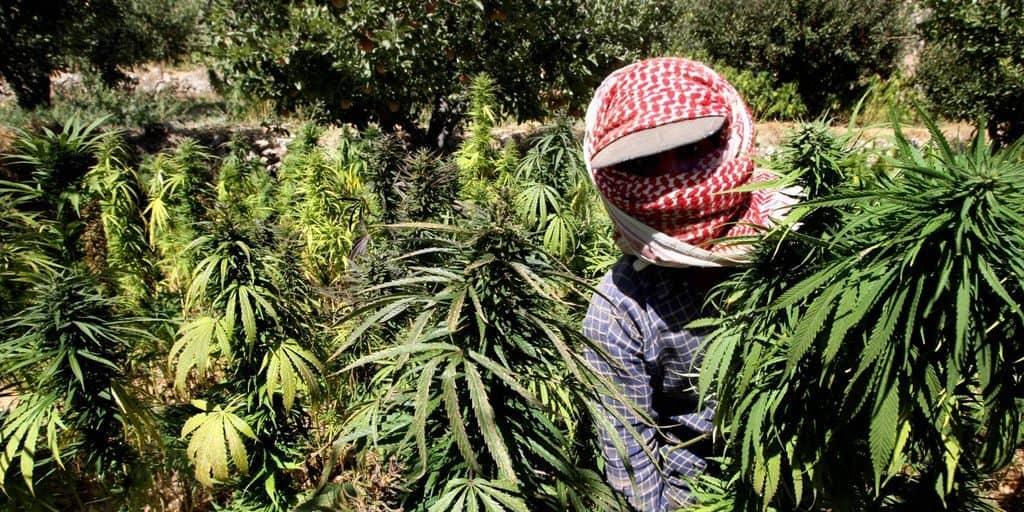 Плантация конопли в Марокко