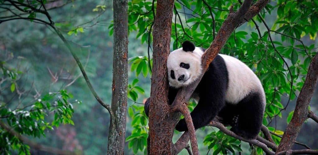 Большая панда на дереве