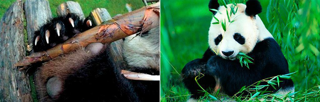 На передней лапе у панды 6 пальцев