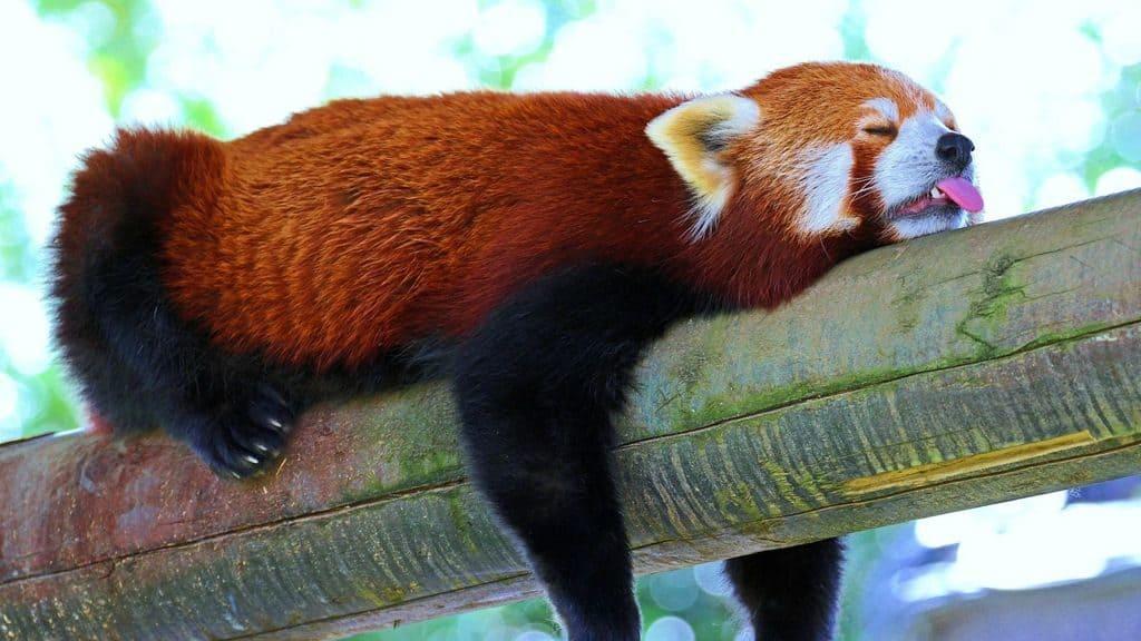 Малая панда спит на дереве