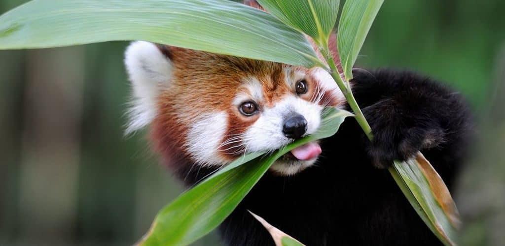 Малая панда ест