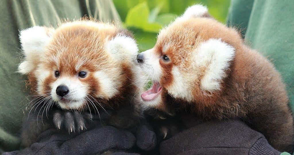 Детеныши красной панды