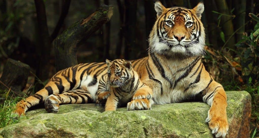 Тигр с маленьким тигренком