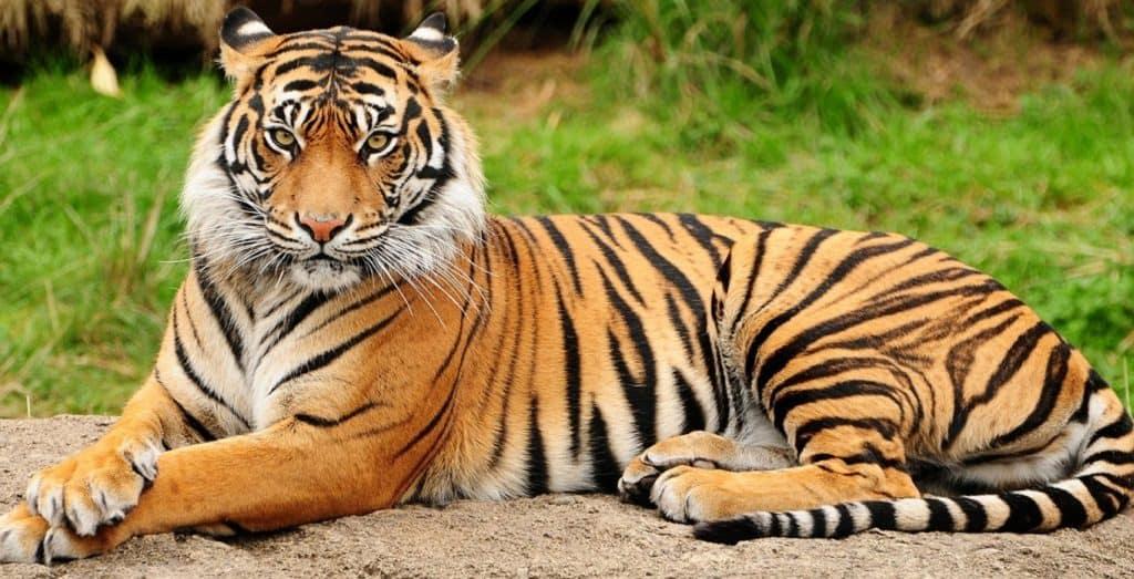 Тигр с белыми пятнами на ушах