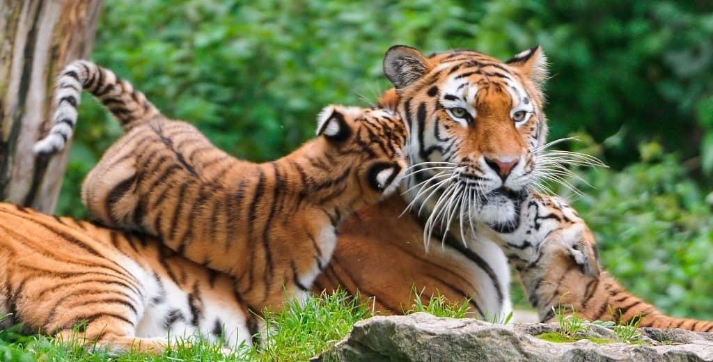 Самка тигра с малышами