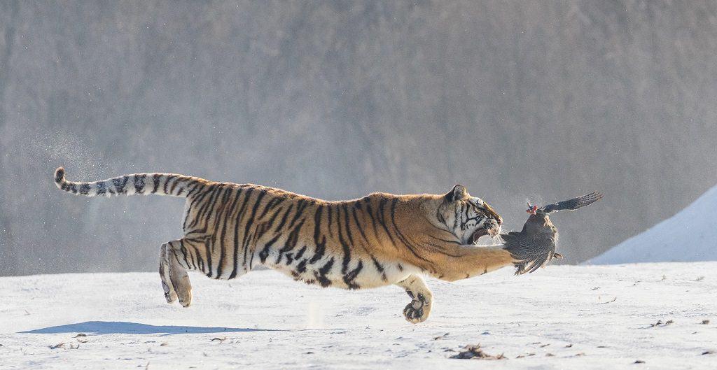 Тигр словил птицу