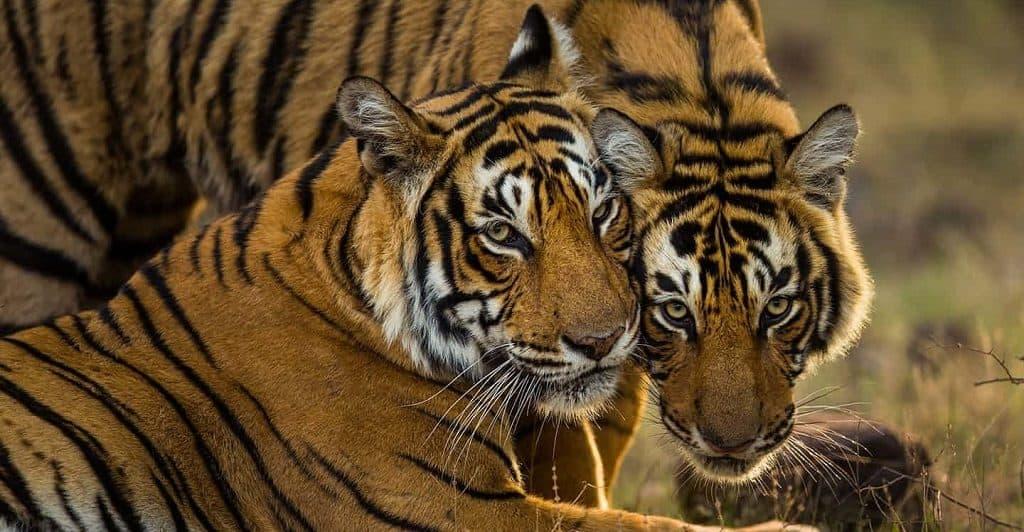 Тигры в дикой природе - вымирающий вид