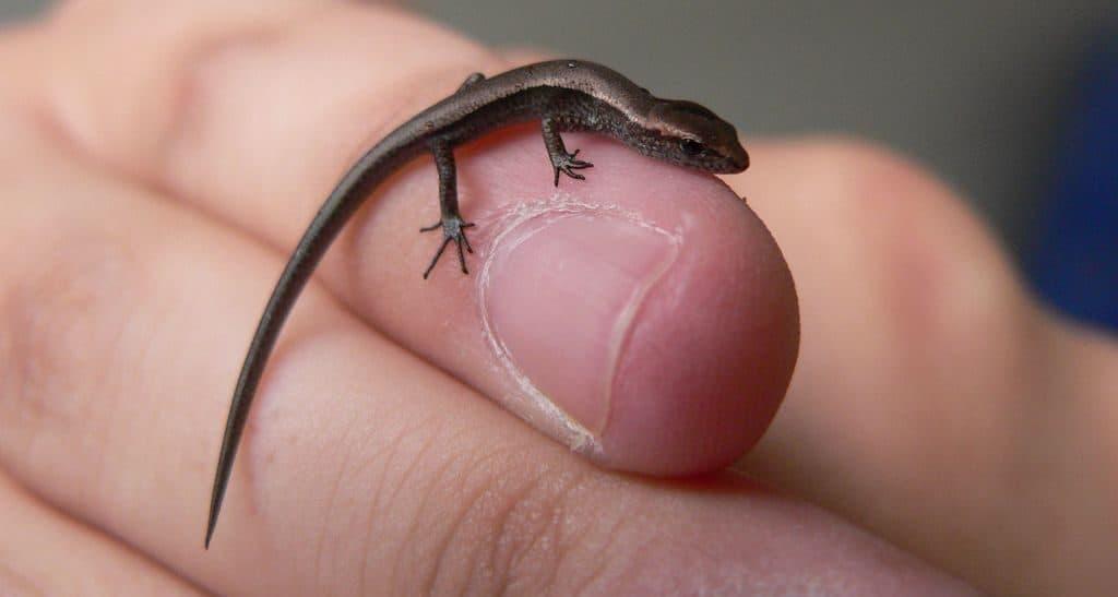 Круглопалый геккон - самая маленькая в мире ящерица