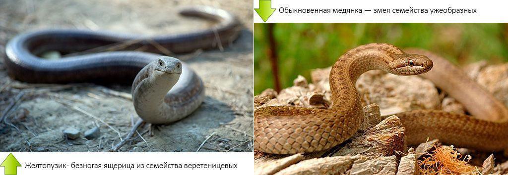 Ящерица желтопузик и змея медянка