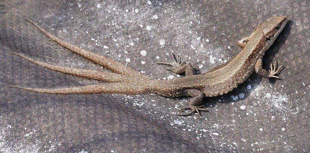 Тройной хвост у ящерицы