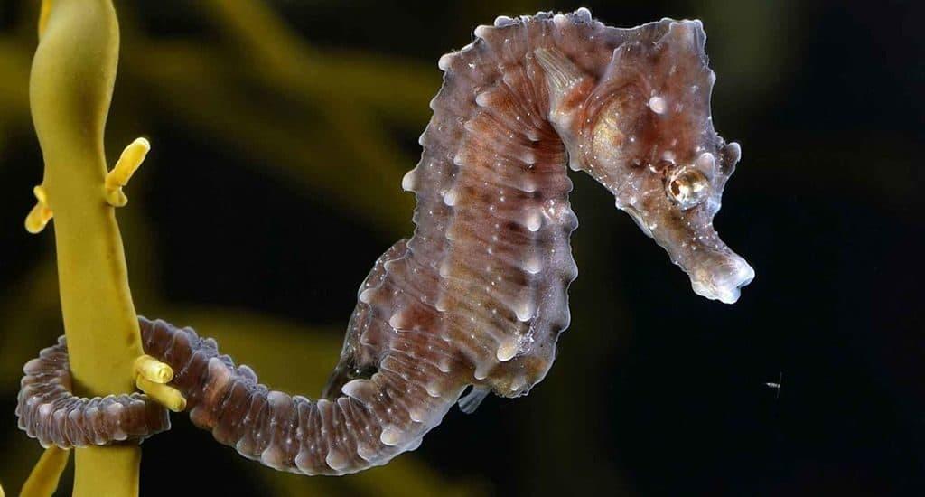 Hippocampus - морской конек