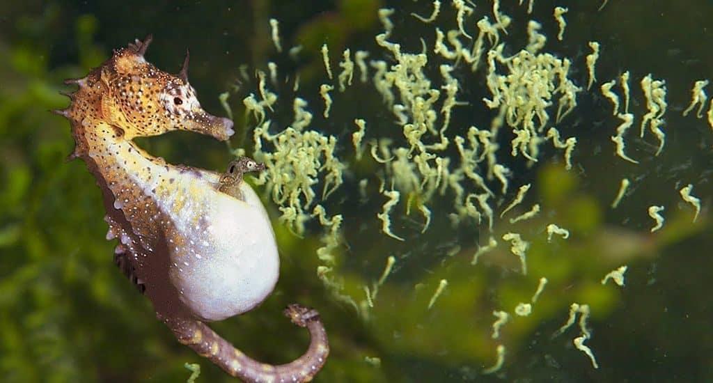 Беременный самец морского конька