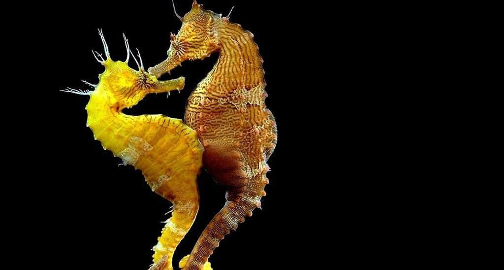 Моногамия у морских коньков