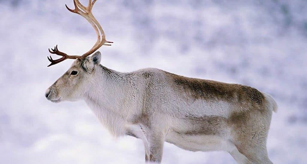 Северные олени и глобальное потепление