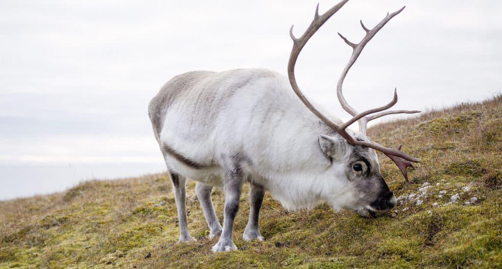 Питание северных оленей