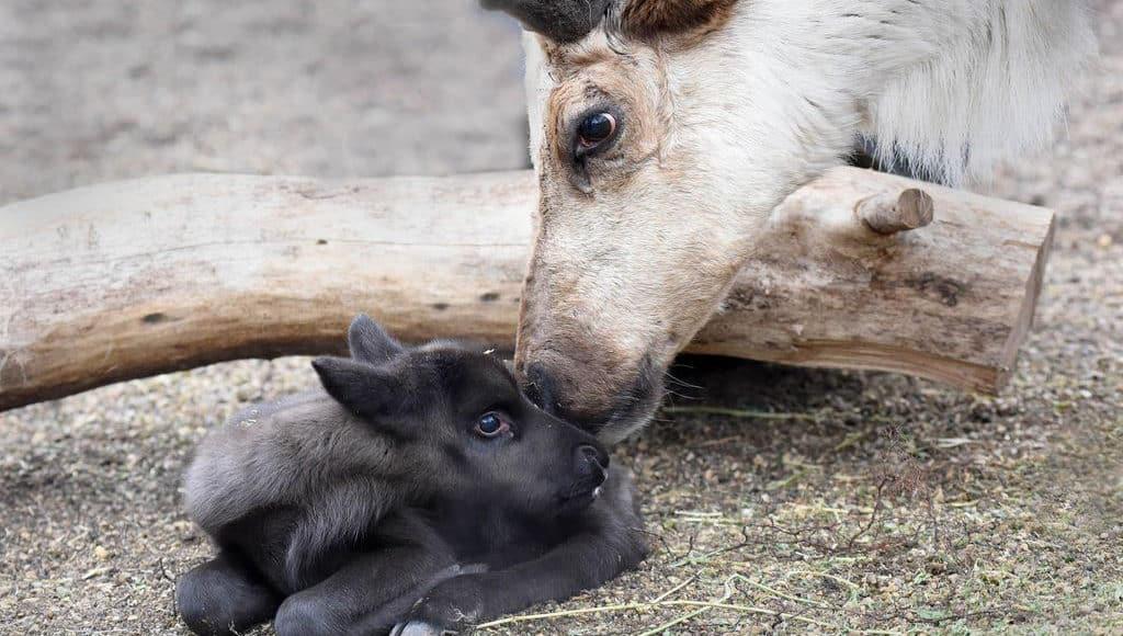 Детеныш северного оленя