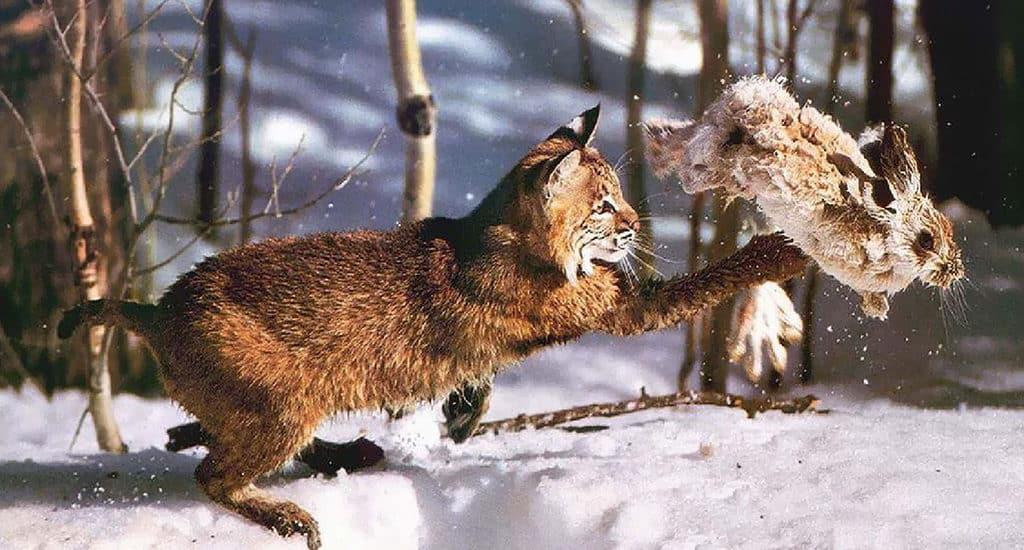 Рысь во время охоты