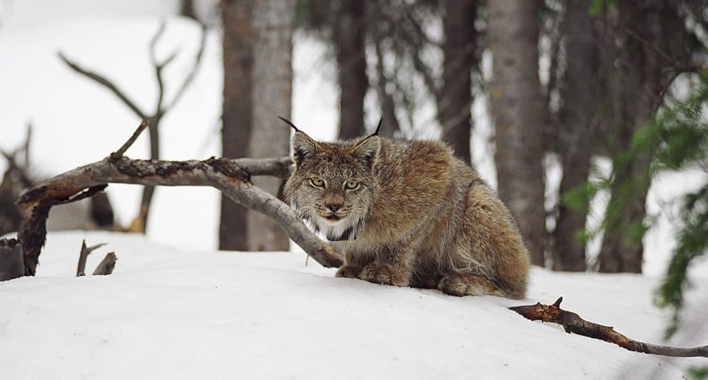 Рысь - животное одиночка