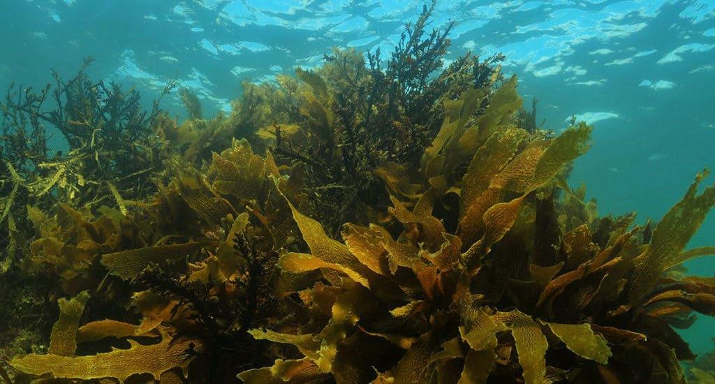 Бурые водоросли в Северном Ледовитом океане