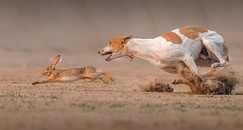 Убегающий от собаки заяц
