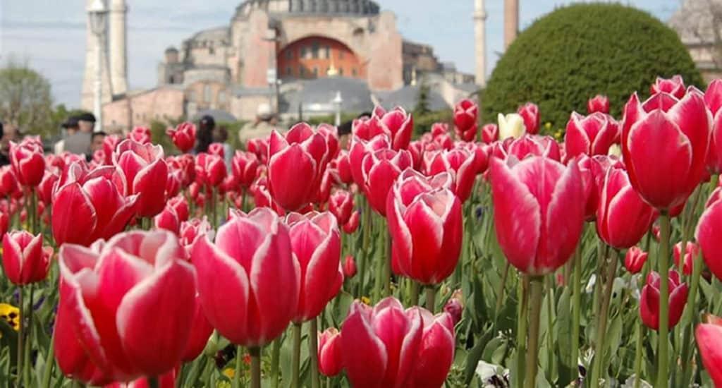 Турецкие тюльпаны
