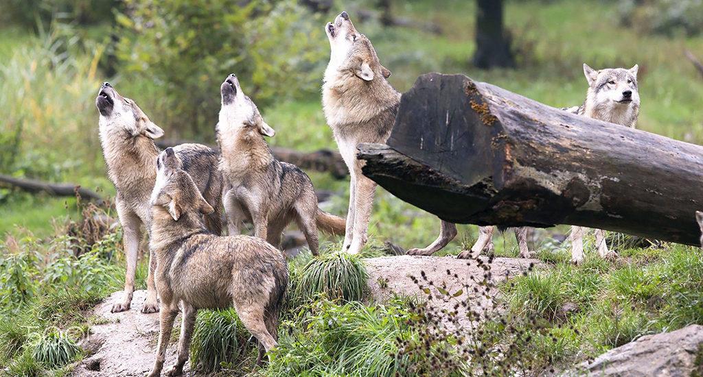Запрет охоты на волков