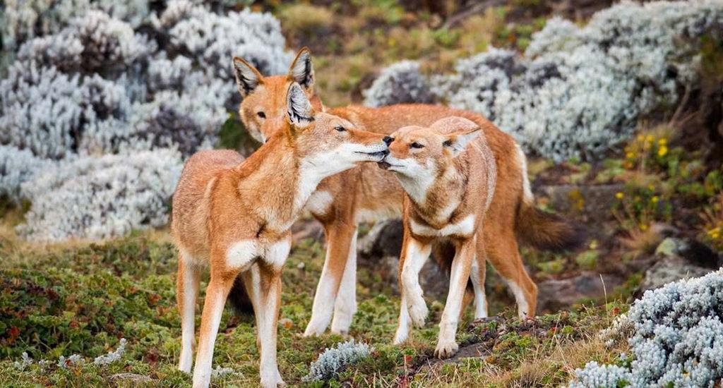 Эфиопский волк (Эфиопский шакал)