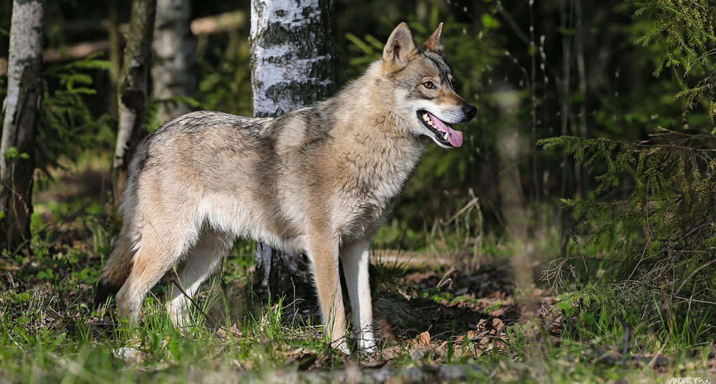 Волкособ - гибрид волка и собаки