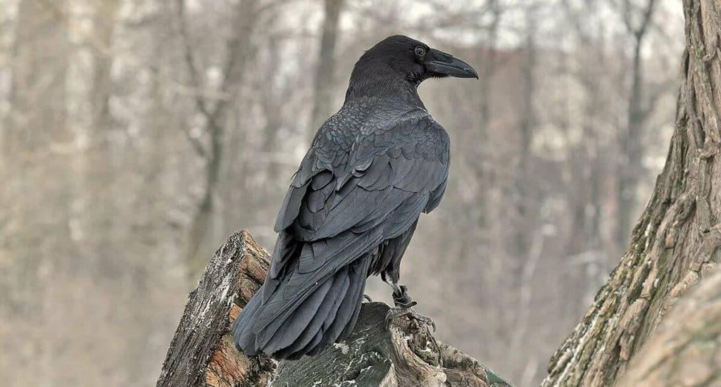 Интересные факты о воронах