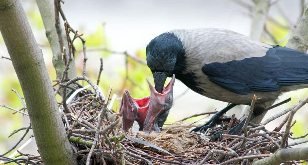Птенцы вороны