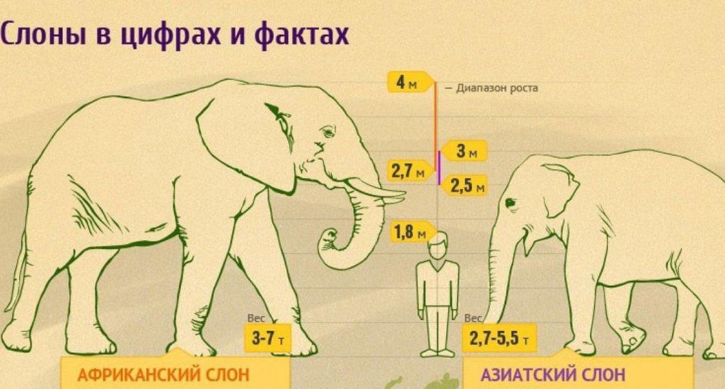 Африканский и азиатский слон
