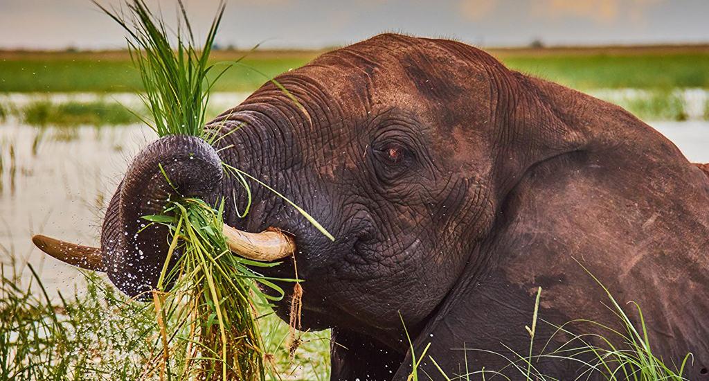 Еда слона