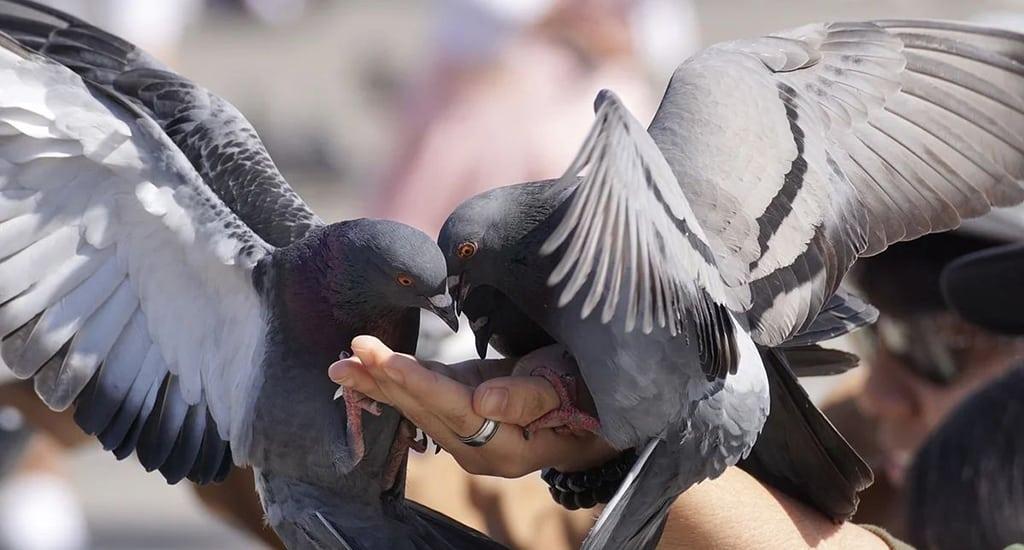 Запрет на кормление голубей в Сан-Франциско