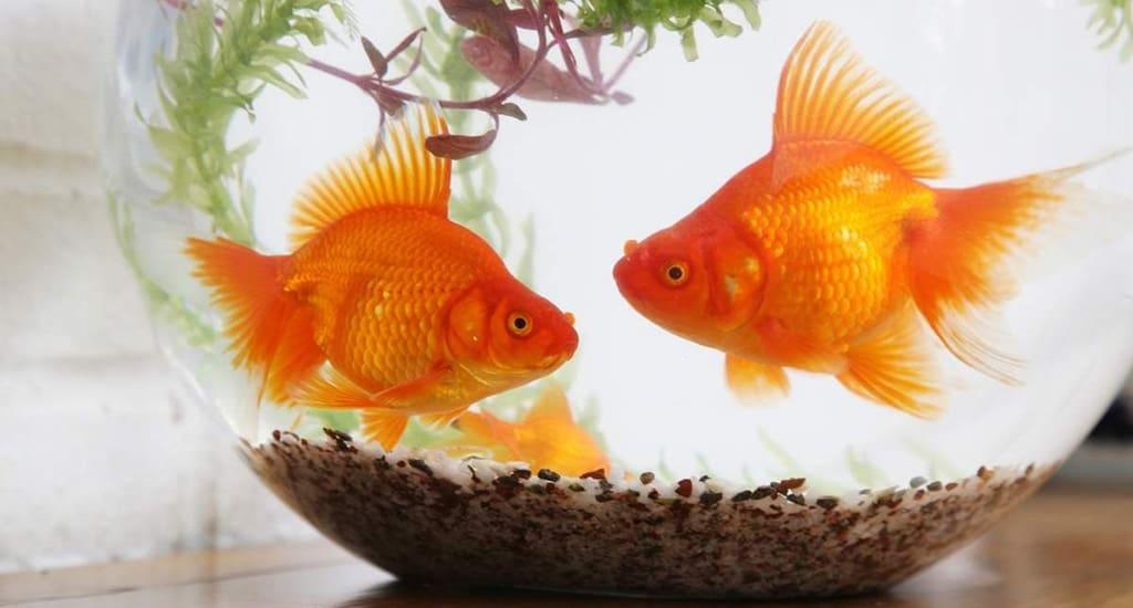 Золотые рыбки Рима защищены законодательством