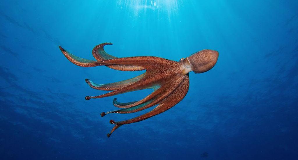 Общие характеристики осьминогов