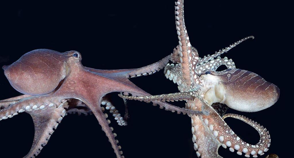 Спаривание осьминогов